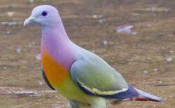 カラフルな虹色のハト、あまりにも美しいとネットで話題に