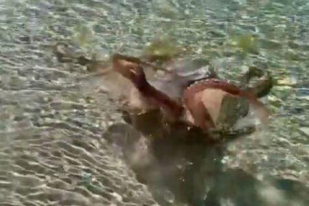 タコも怒ったら怖い!水面に触手を突き出し威嚇する動画が話題に