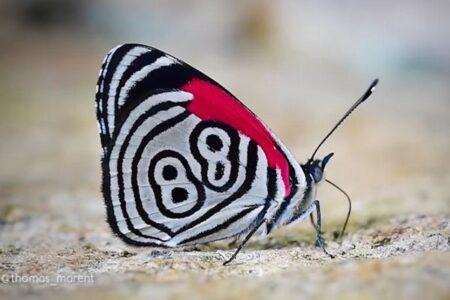 羽に「88」の模様が描かれた蝶、南米のコロンビアで撮影