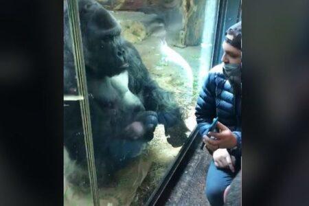 「スマホをスワイプしてくれ!」動物園のゴリラが人間に指示する動画が面白い