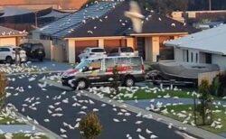 まるでホラー映画のよう!オーストラリアの街が白い鳥に乗っ取られた!