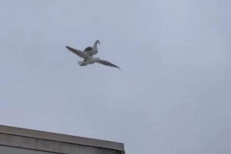 飛行中のカモメの上にカモメ…珍しい動画が投稿され、多くのユーザーもびっくり