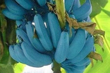青いバナナ、ブルー・ジャワ・バナナはアイスクリームの味がする