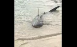 多くの人が集まるビーチにサメ、浅瀬に乗り上げ動けなくなる【オーストラリア】