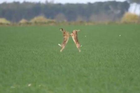 ウサギが野原でボクシング、争う姿が可愛すぎる!