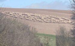 まるで円盤のよう!イギリスで羊の群れが奇妙なサークルを描いていた!