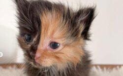 住宅の壁の中から見つかった子猫は、顔の左右が違う「キメラ」猫だった【アメリカ】