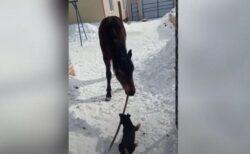 「これは僕のものだい!」ワンコと馬が木の棒を奪い合う【動画】