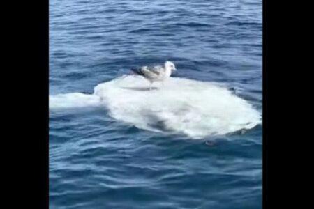 カモメがヒッチハイク?マンボウの上に乗り海を漂う様子を撮影