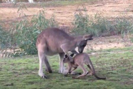 カンガルーの赤ちゃん、母親と間違い、叔母の袋へ入ろうとしてしまう