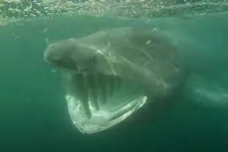 巨大な口を持つ怪魚、ウバザメの迫力のある姿をとらえた!【イギリス】
