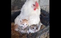 鶏小屋から猫の声…雌鶏が羽の下で子猫を育てていた【動画】