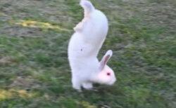 逆立ち歩きするウサギ種、その理由が解明された