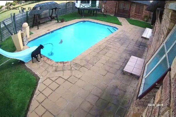 プールに落ちた子犬を、もう1匹の犬が無事救出