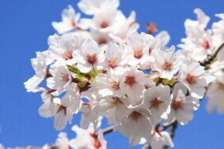 京都の桜の満開日、今年は1200年間で最も早かった!過去の日記を紐解き判明