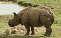 ネパールに生息する絶滅危惧種のサイ、過去5年間で個体数が16%増加
