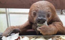 【癒し】世界一のご長寿!独クレーフェルト動物園のナマケモノ「Jan」の平和な人生