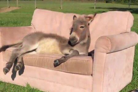 快適で~す!ソファの上で寛ぐロバの姿が幸せそう