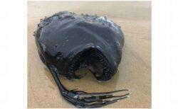 米の海岸に珍しい奇妙な魚が打ち上げられる、その正体とは?