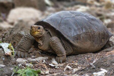 ガラパゴス諸島で発見されたゾウガメ、100年以上も前に絶滅した種であると判明
