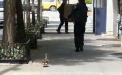 NYの警察官がカモの子供を保護、母親を誘導する作戦が大成功!