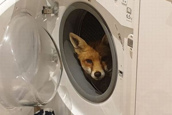 ロンドンにある家の洗濯機に野生のキツネが座っていた、住人もびっくり!