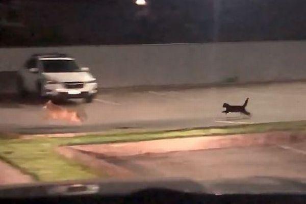 恐れ知らずのネコ、自分より大きな野生のコヨーテを追い回す
