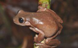 ニューギニアに生息するチョコレート色をしたカエル、新種だと判明