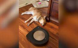 「ルンバ」が来ても眠り続ける柴犬、周りを念入りに掃除される