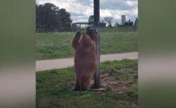 クマがポールに体を押し付けダンス、両手を広げて背中を掻く姿が面白い