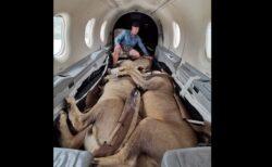 プライベートジェットで抱き合って眠る、アフリカの大ライオンが可愛い