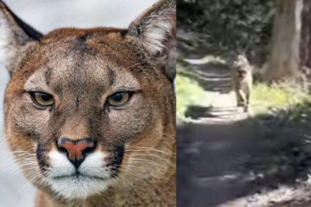 山道でマウンテンライオンに襲われかけた!必死に逃げる動画が恐ろしい