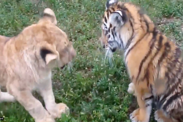 ライオンの子供とトラの子供が仲良く喧嘩【動画】