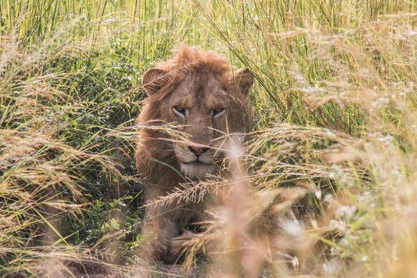 殺すために育てる…南アフリカでライオンの繁殖ビジネスを禁止へ