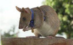 カンボジアで地雷を除去し続けてきたヒーロー・ネズミ、ついに引退へ