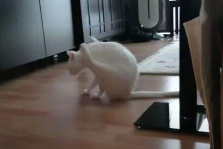 まるで体操選手!後ろ足を浮かし、前足だけで歩くニャンコが面白い