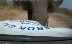巨大なゾウが突然、車に突進してきた!牙でボンネットを破壊