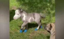 犬より小さなミニチュアホース、生まれて間もない赤ちゃんが激カワ
