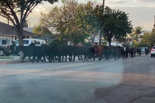 「死んでたまるか!」40頭の牛が屠殺場から逃走、道路を駆け抜けていく