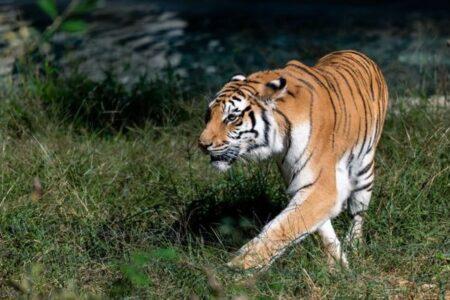 悪名高き密猟者、70頭もの稀少なトラを殺してきた男をついに逮捕