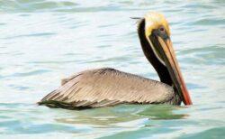 カリフォルニアで、32羽のペリカンの羽が折られる不可解な事件が発生