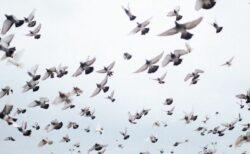 ハトのレースで数千羽が行方不明、英で実際に起きたミステリー