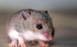 子宮を移植されたオスのマウスが10匹の子供を出産、中国での研究に批判も