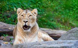 インドの動物園で、9歳のライオンが新型コロナに感染し死亡