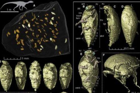 恐竜の糞から見つかった新種の昆虫、ほぼ完全な状態で残っていた!