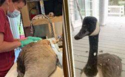 アニマルセンターでオスの雁を手術中、メスが窓に現れ、見守り続ける