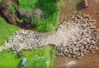 イスラエルで撮影された羊の群れ、ユニークな動きを見せるドローン動画