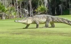 メキシコのゴルフ場でも巨大なワニ、バギーに乗っていた人々もびっくり!