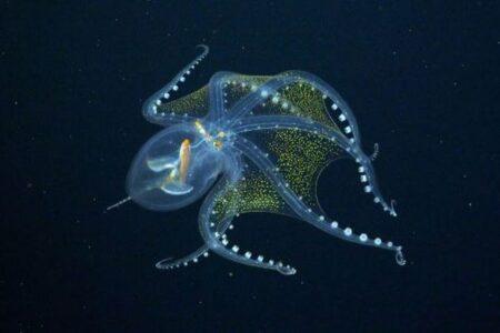 太平洋を調査していた科学者らが、珍しい透明なタコの撮影に成功