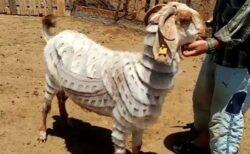 ヤギの毛を美しいデザインにカット、トルコ人の男性の技が見事
